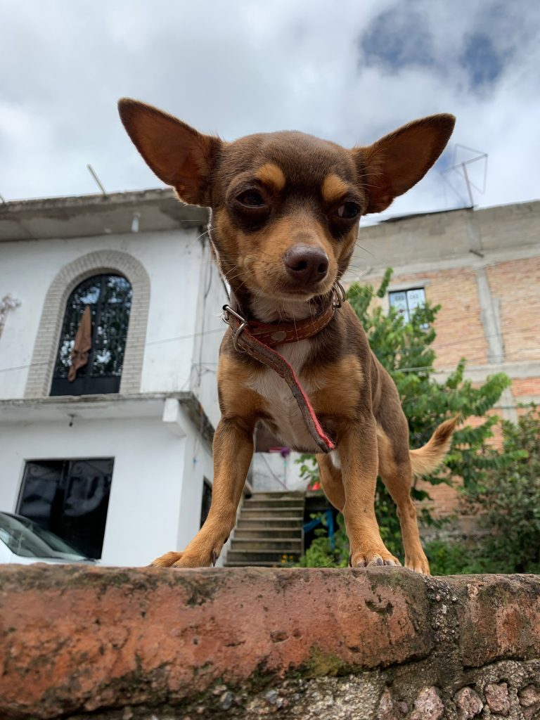 Chihuahua, Taxco, Mexico ©2019, Cyndie Burkhardt