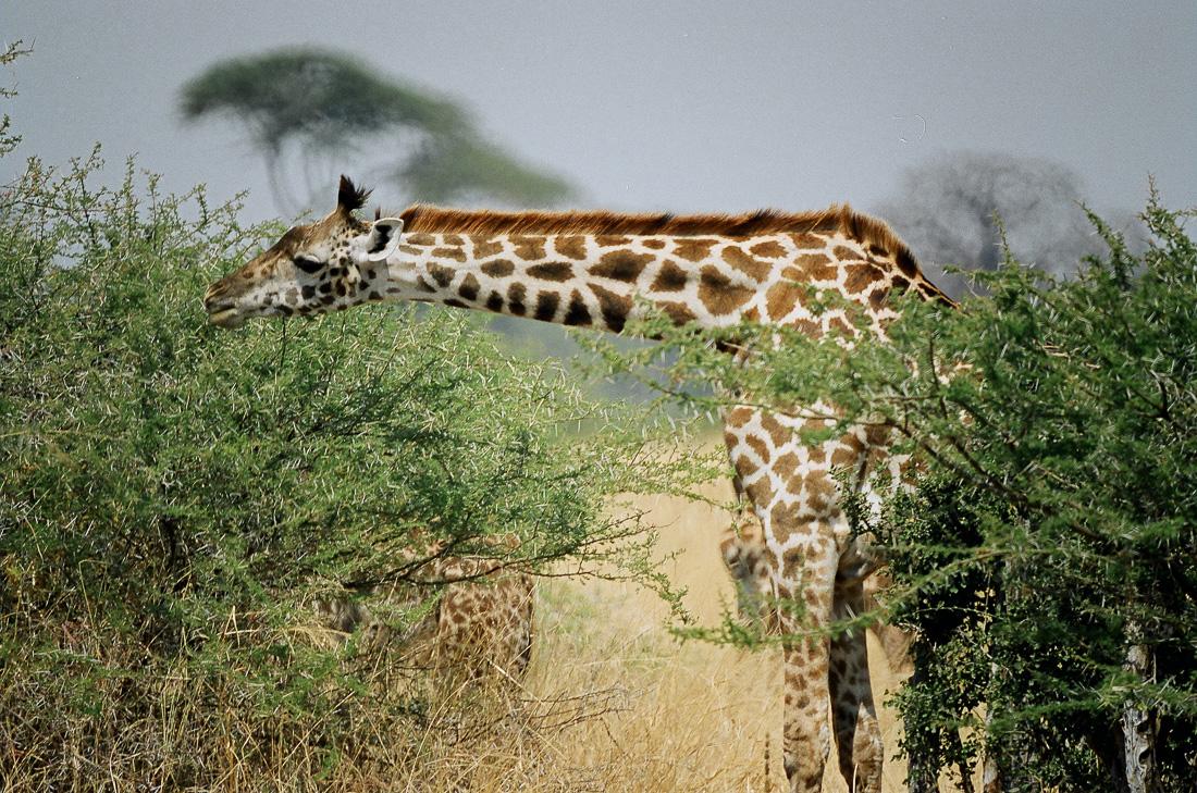 Tarangire, Tanzania ©Cyndie Burkhardt.