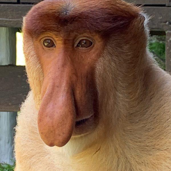 Proboscis monkey, Borneo, Malaysia, ©2020, Cyndie Burkhardt.